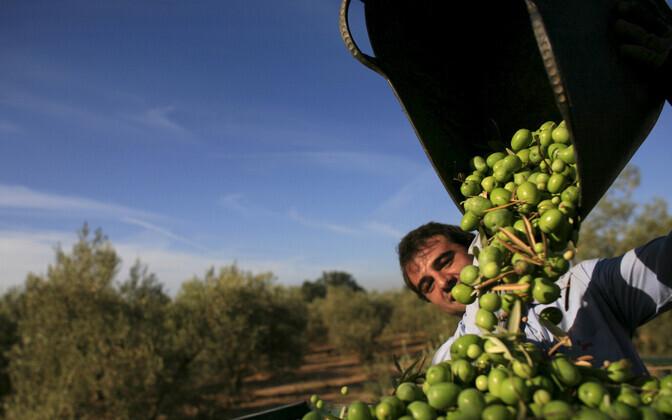 Uuemates istandustes istutatakse oliivipuud tihedamalt, rohurinne peaaegu puudub ning kasutatakse põllumajanduskeemiat ja -masinaid.
