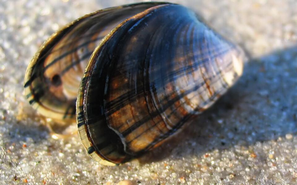 Mytilus edulis ehk söödav rannakarp.