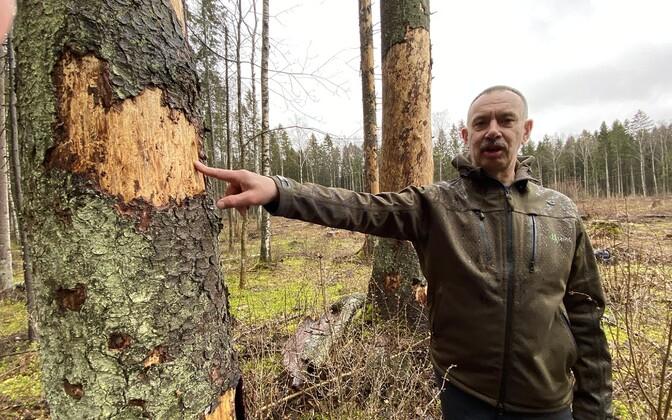 По словам Таво Ууэталу, если не остановить распространение вредителей, леса вскоре превратятся в высохшие безжизненные массивы.