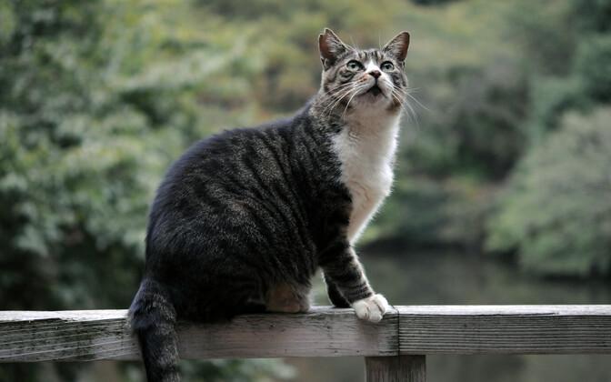 Kass on üks kõige invasiivsem ning inimkaaslejana peaaegu kõikjale levinud loomaliik.