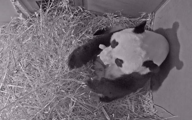 Wu Wen vastsündinud pandabeebiga.