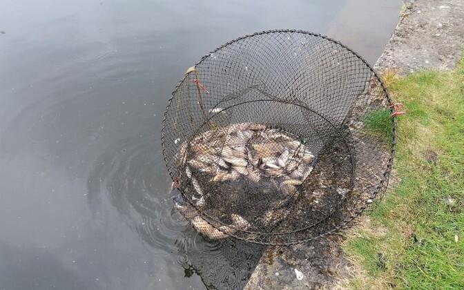 Браконьерское приспособление для ловли рыбы.