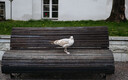 Seagull on a bench