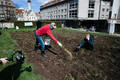 Grain being sown on at Harju 30 in Tallinn's Old Town.