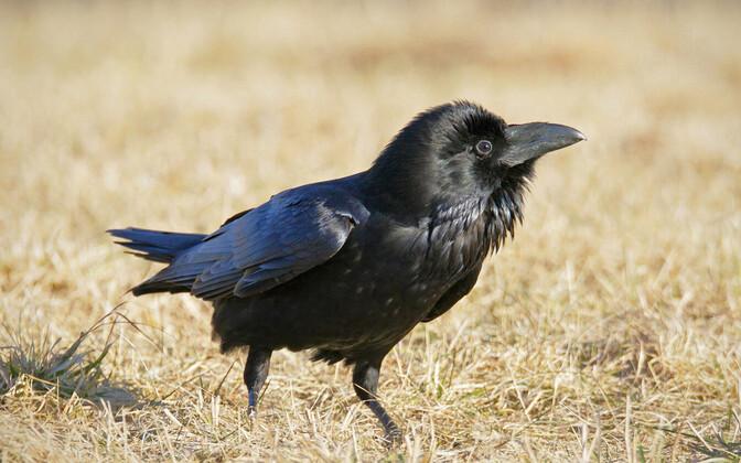 Paljud linnunimed sünnivad linnu häälitsusele mõeldes.