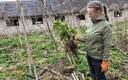 Karuputke leviala Viljandimaal Põhja-Sakala vallas Lahmuse külas mahajäetud loomalauda lähistel. Keskkonnaameti liigikaitse peaspetsialist Eike Vunk näitab, et lihtsaim viis karuputkest lahti saada on taim koos juurega välja kaevata.