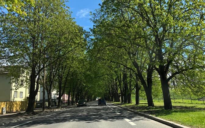A leafy Tallinn street (Tehnika, in this case).