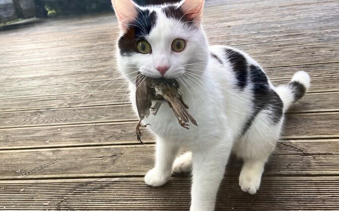Kasside asustustihedus teeb kasside põhjustatud kiskluse 2–10 korda suuremaks looduslike kiskjate omast.