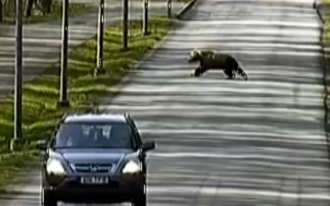 One of the bears crossing a road in Tallinn's Rocca al Mare district.