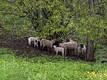 Viljandi lossimägede nõlvu hooldavad lambad pärinevad 15 kilomeetri kauguselt Arujaagu talust.