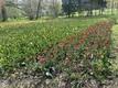 Тюльпаны в парке мызы Кирна.