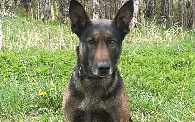 Служебный пес Тийссел.
