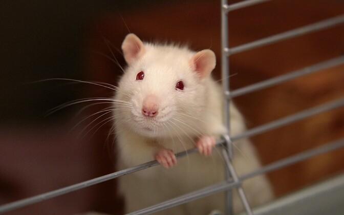 Inimeste naharakkudest loodi tüvirakud, millest kasvatati erinevaid maksarakke ning siirati need rottidele.