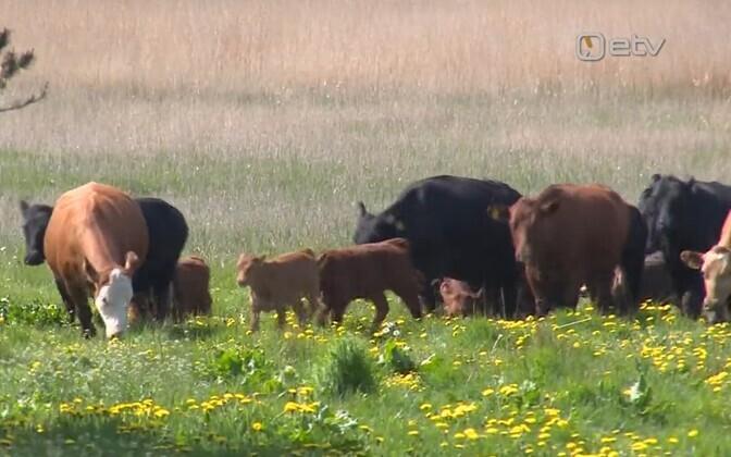 Cows in Pärnu coastal meadow.