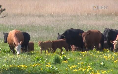 Пярнуские коровы.