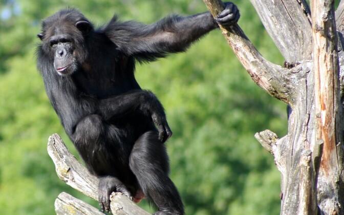 Šimpans Tallinna loomaaias.