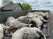 Hundid murdsid Raplamaal Kehtna vallas Valtu-Nurme külas lambaid.