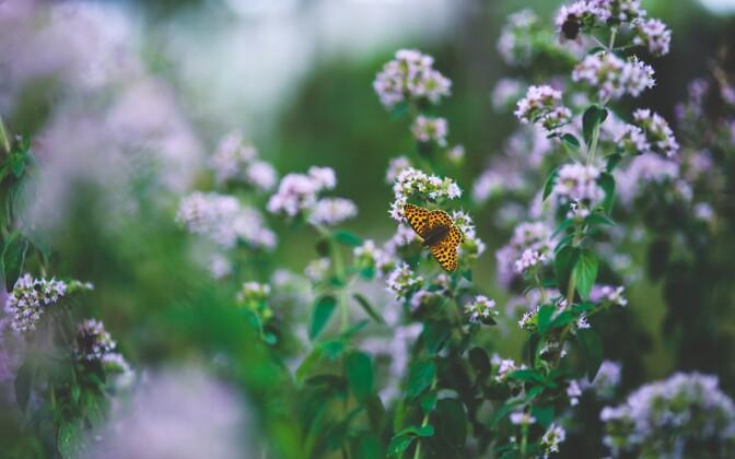 Июнь – самое подходящее время для посадки пряных растений.