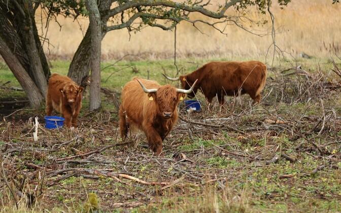 Бычки шотландской горной породы на Пальяссааре.