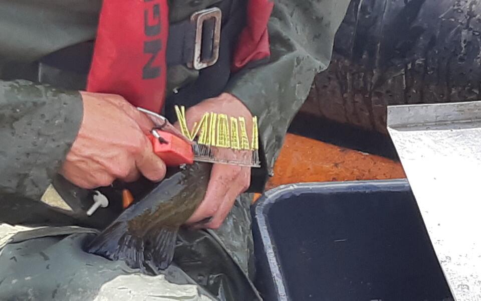 Kalade märgistamine  Narva jõel.
