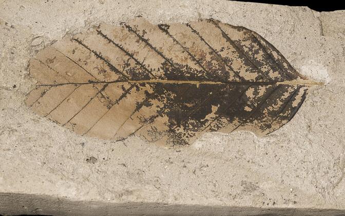 Taime fossiil.