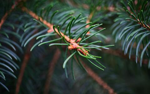 Okaspuudel ehk paljasseemnetaimedel on õhu süsihappegaasi sisalduse tõustes kasvueelis.