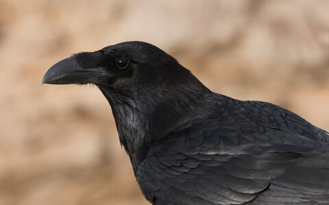 Ronk (Corvus corax)