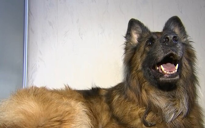Dog Arina who got serious injuries in Laagna tee accident