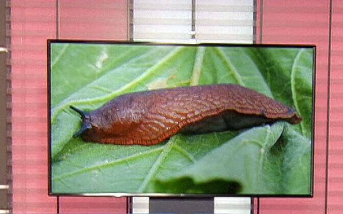Giant slugs.