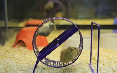 Ehkki hiired ei liigu päeval palju, võivad joosta nad öösel kilomeetreid.