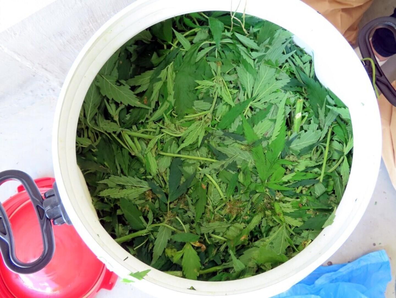Коноплю в больших количествах загибаются листья марихуаны