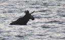 Moose swimming at Pirita beach in Tallinn.