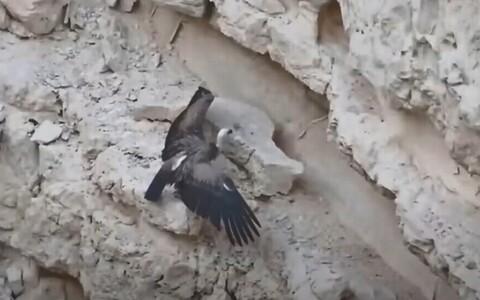 Птенца белоголового сипа кормили с помощью дрона.