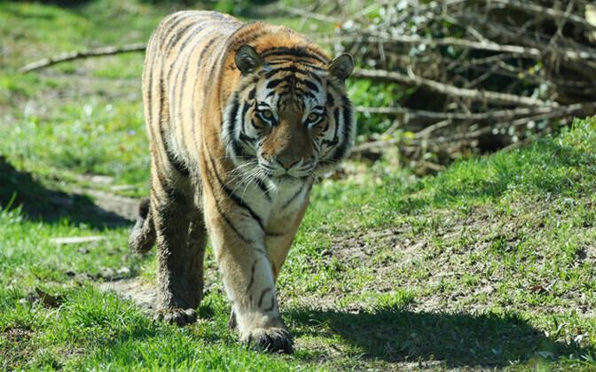 Amuuri tiiger Pootsman