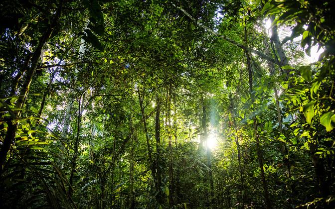 Raie järel tungis ere päikesevalgus Amzonase vihmametsa hämarasse alusmetsa. Nii said hämaralembesed alusmetsataimed kahjustada