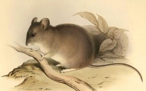 Kollakat värvi lehekujuliste kõrvadega hamstri ingliskeelne nimetus on yellow-rumped leaf-eared mouse (lad Phyllotis xanthopygus). Paraku eestikeelne nimetus sel hamstril puudub.