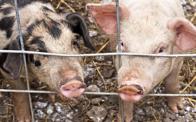 В последние годы на эстонских фермах не выявляли случаи заражения АЧС.
