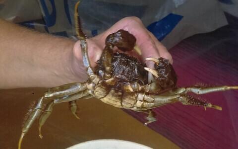 В реке Сытке поймали китайского мохнаторукого краба.