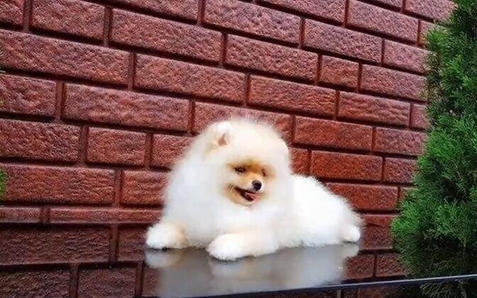 Собака, которую бесплатно предлагали мошенники.