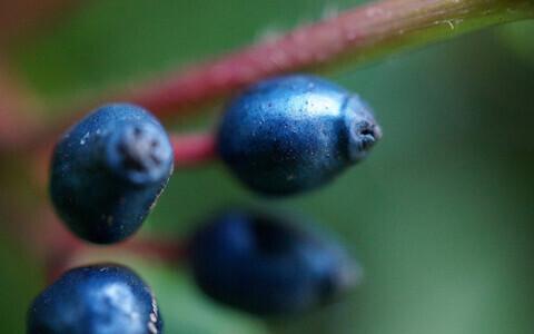 Vahemere lodjapuu marjad tunduvad küll sinised, aga sinist pigmenti neis pole