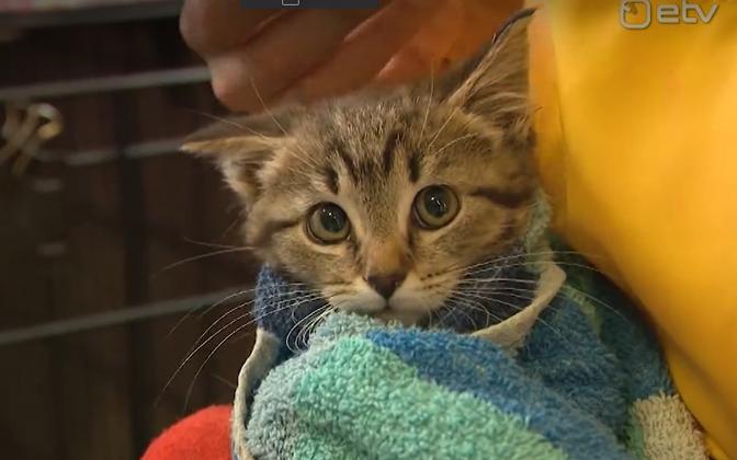 Добровольцы приходят гладить котят в приют, чтобы они перестали бояться людей.