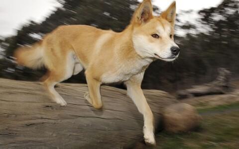 Austraalia metsik koerlane dingo näib küll inimese parima sõbra moodi välja, ent tegemist on osava kiskjaga
