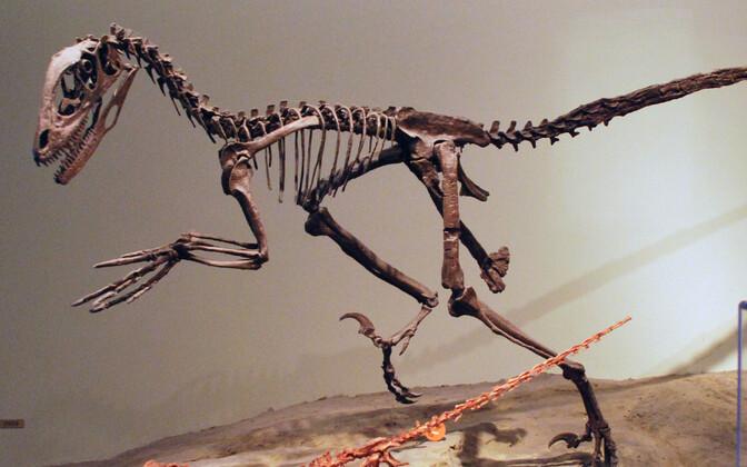 Dromaeosaurus Deinonychuse skelett.