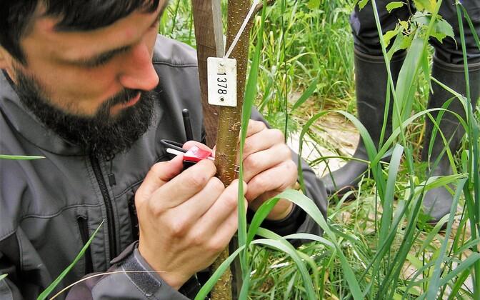 Ott Kangur paigaldab puudes toimuva vee liikumise mõõtmiseks puutüvve ksüleemivooluandurit.