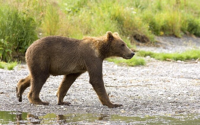 Brown bear cub (photo is illustrative).