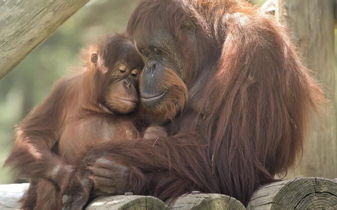 Näiteks võib koroonaviirus kimbutada ohustatud ahvilisi nagu Sumatra orangutange.