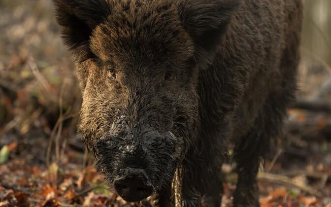 Wild boar in Estonia.