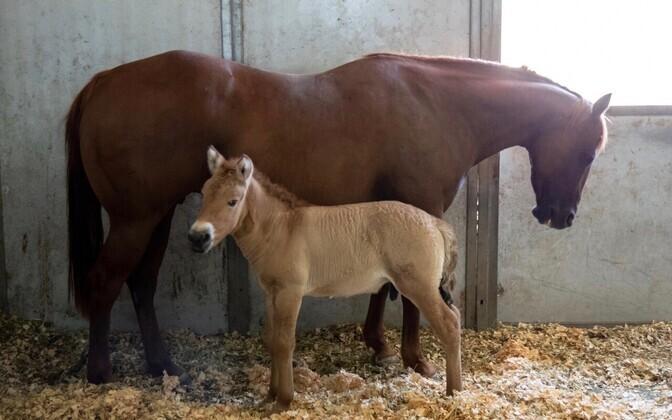 Augusti alguses ilmavalgust näinud isane Przewalski hobuse varss on oma liigi esimene kloonitud isend.