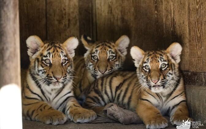 Тигрята Боцмана в итальянском зоопарке.