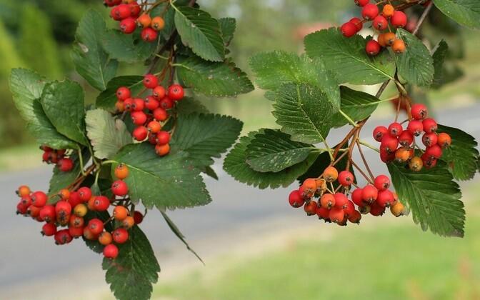 Рябина шведская (Sorbus intermedia)